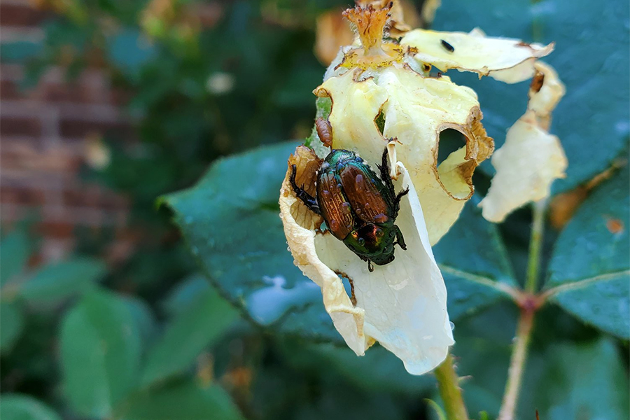 It's Japanese Beetle Season! What Should You Expect?