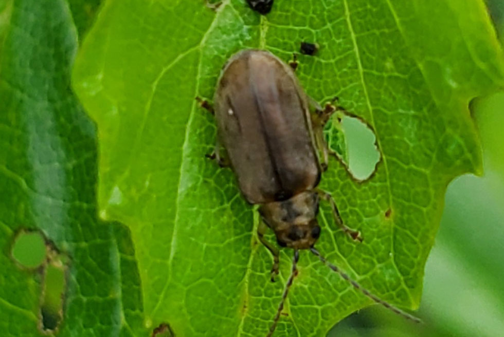The Viburnum Leaf Beetle (VLB)