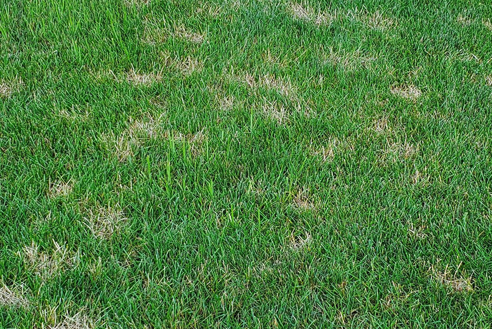 What Is Dollar Spot Disease?
