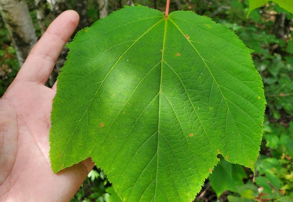 The Moosewood Maple (Acer pennsylvanicum)